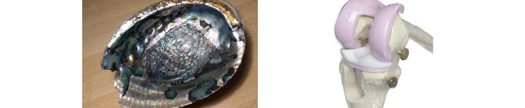 Die Innenseite einer Muschelschale und ein Knochengelenk sind dargestellt