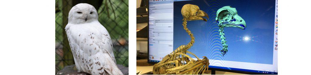 Vom Skelett einer Eule wird das Eulenhalsgelenk mit einer Computersimulation nachkonstruiert.